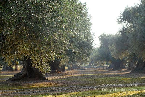 Puglia-zeytin-agaclari